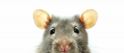 Rat removal Dallas